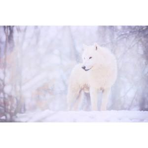 Tableau loup blanc en pleine forêt