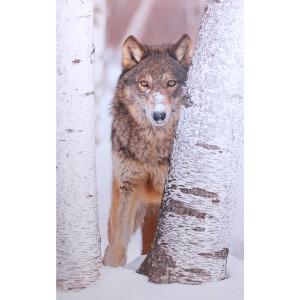 Impression sur dibond loup caché
