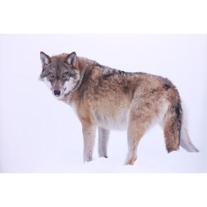 Impression sur dibond loup dans la neige