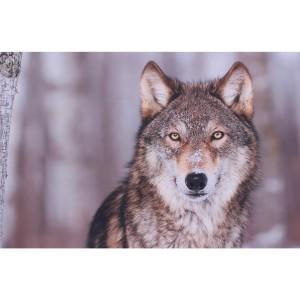 Impression sur dibond loup curieux