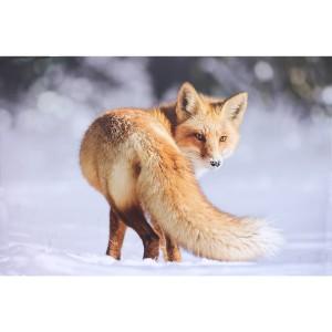 Impression sur dibond renard en photo